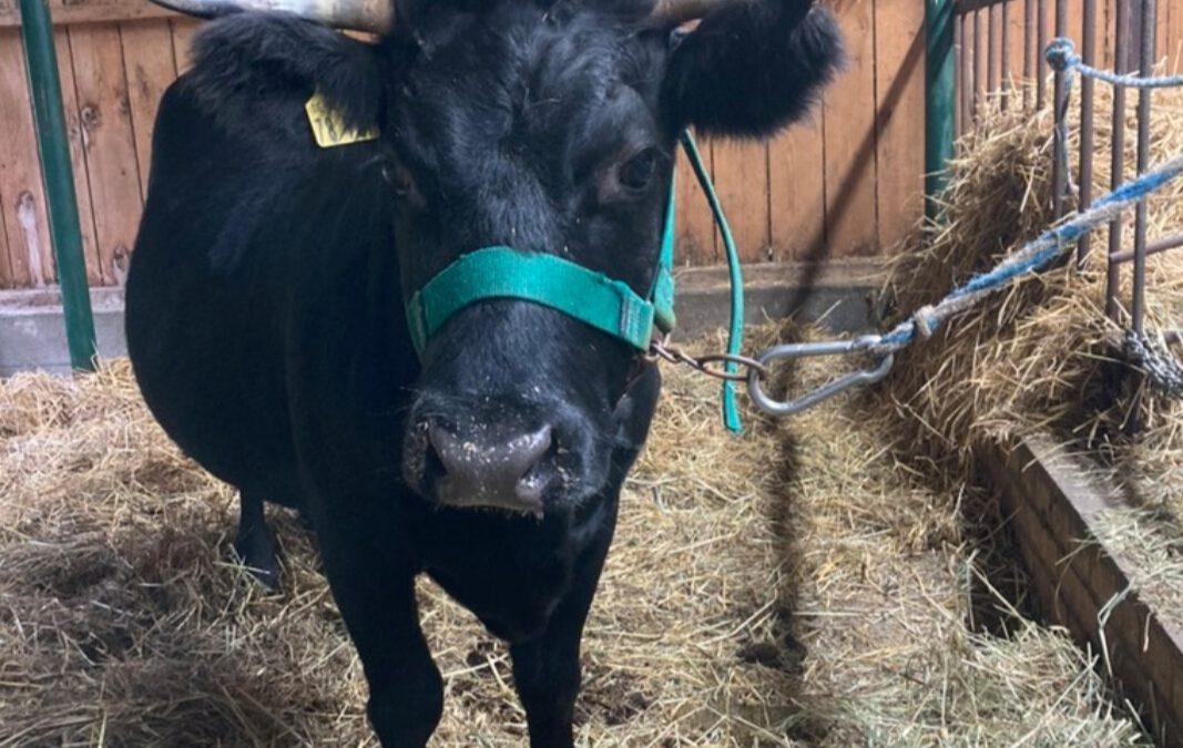 Es gibt wieder Kühe auf dem Hof!